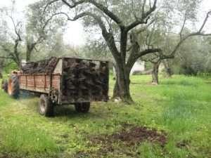 olivo concimazione biologica