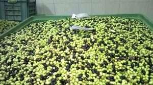 olive da olio a freddo