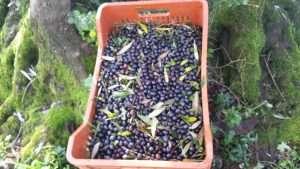 produzione di olio di oliva