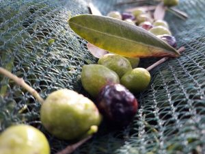 olive tripaldi